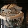 Galleria dei cetacei, Museo di Storia Naturale