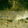 Biologia marina - Gobius paganellus
