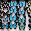 Collezione-farfalle-Museo-Storia-Naturale