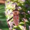 Leptoglossus-occidentalis-H