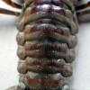 Orconectes-limosus-2
