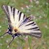 Iphiclides podalirius. foto di M.Uliana