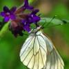 Aporiacrataegi butterfly
