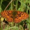 Grancona-butterfly