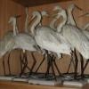 Collezione-ornitologica-Ninni