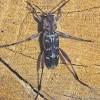 Xylotrechus stebbingi 1 - Uliana